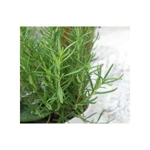 wholesale price rosemary tea hairdressing activate brain